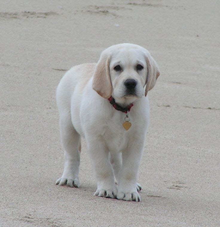 "♡ LOVE  WHITE LABS ♡!!! Shelby's White Labradors – Breeders — White Lab Breeders; Established In 1983. ""Dedicated To Quality; Bred With Care"""