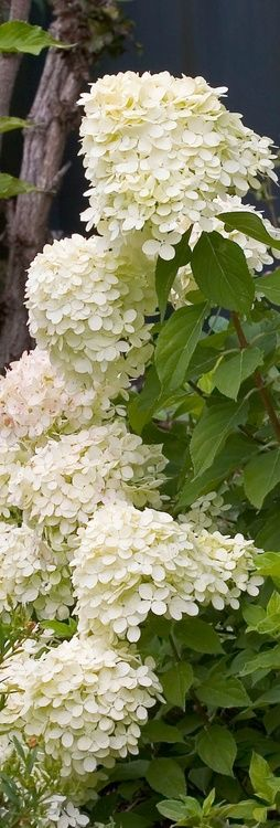 Hydrangea paniculata love these lime light hydrangea, they start out lime green, then turn white like shown, then in a few weeks turn pink.
