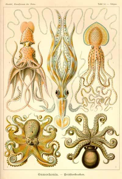 Biologist John Zachary Young was born March 18, 1907.  He wrote The Anatomy of the Nervous System of Octopus vulgaris in 1971, which the above illustration is not from.  I couldn't find any pictures from it, so this is from Ernest Haeckel.