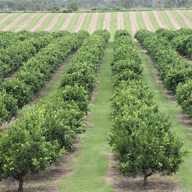 Did you know...? 🌳🍊🍋 We grow our own citrus, passionfruit and ginger on our 180 hectare farm, Spencer Ranch. The farm is located in Wallaville, Queensland and when in full production more than 650,000 units are packed annually in our state of the art packing facility. #aussiefarming #spencerranch #wallaville #queensland #freshproduce #verticallyintegrated #agriculture #aussiefresh #carterandspencer