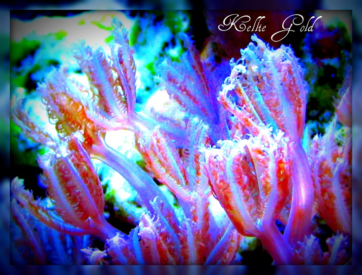 Pink and purple finger coral in my saltwater reef tank for Pink fish tank