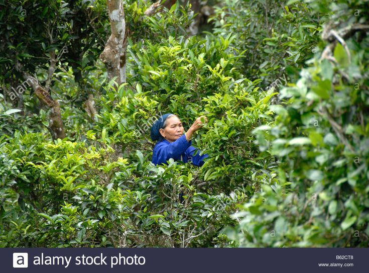 Tea, a woman of the Phunoy tribe picking tea leaves from the crown of old tea trees, Ban Komaen, Phongsali Province, Laos, Sout Stock Photo