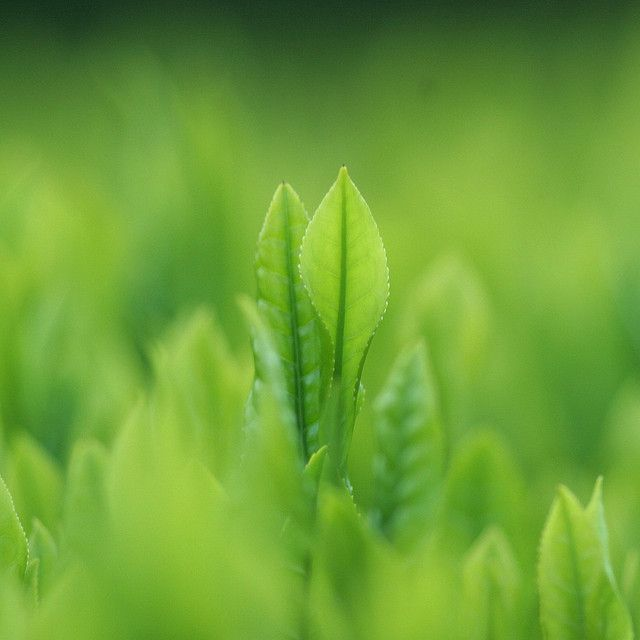 Folla de Camelia Sinensis, a planta do té.