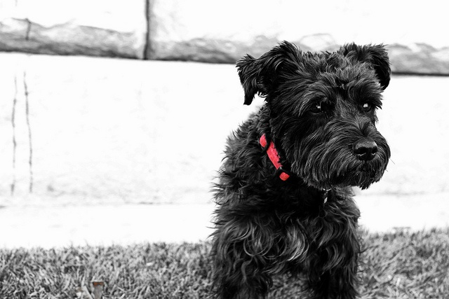 Oliver: Black & White & Red by Nathan Middlebrook #Miniature #Schnauzer