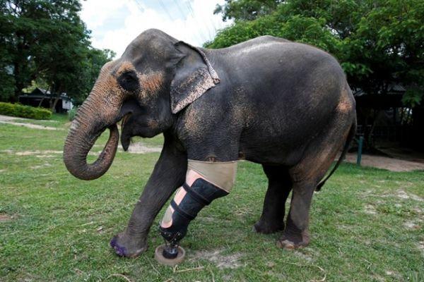 Conozca a Mosha, la elefante con una pierna prostética. Visite nuestra página y sea parte de nuestra conversación: http://www.namnewsnetwork.org/v3/spanish/index.php  #nnn #bernama #malasia #malaysia #kl #tailandia #thailand #asia #america #mosha #lampang #fae #news #noticias