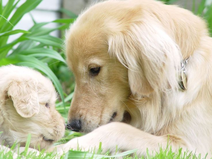 Adorable Golden Retriever mom and her cute pup<3