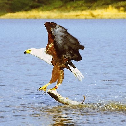 During your stay at Casa Di Cattleya, listen out for the unmistakeble cry of the African Fish Eagle
