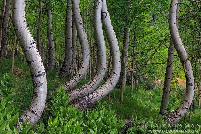Colorado photos,twisted aspens,aspen image,aspen tree photos,bole,boles,forest,wilderness,unique,green,spring,aspen pictures,images