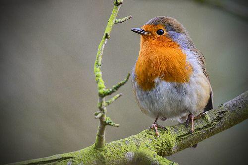 Robin BBC Winterwatch | Flickr - Photo Sharing!