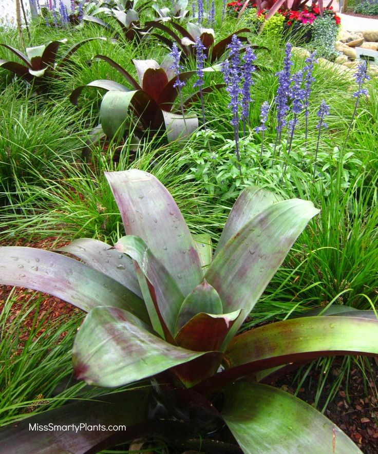 Plant combinations with Imperialis Bromeliad, Alcantarea imperialis, and…