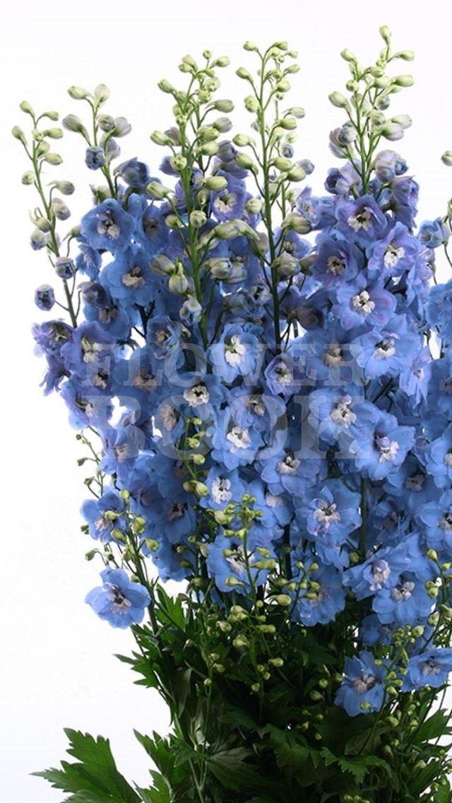 Delphinium Aurora Blue
