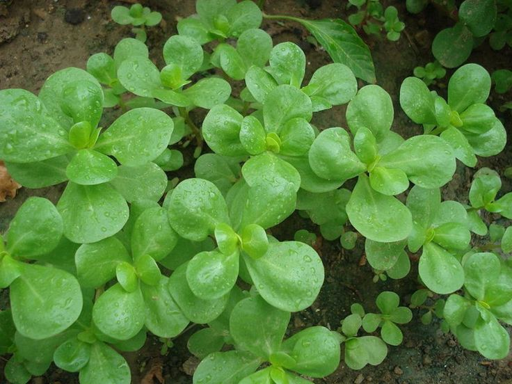 Purslane Seeds - Green, (Portulaca Oleracea Sativa) Rich in vitamin C and the highest-known plant source of omega-3 fatty acid.