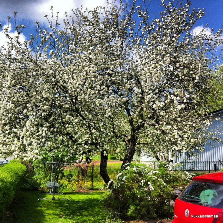 A blooming apple tree and Mickey in a car
