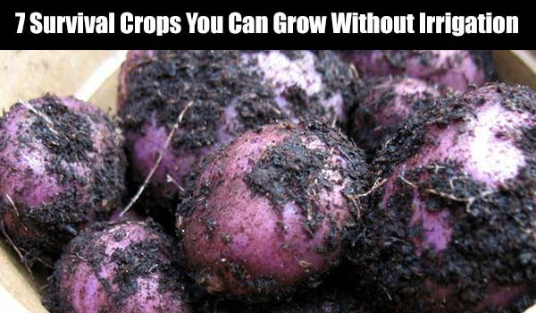 7 Survival Crops You Can Grow Without Irrigation - SHTF, Emergency Preparedness, Survival Prepping, Homesteading