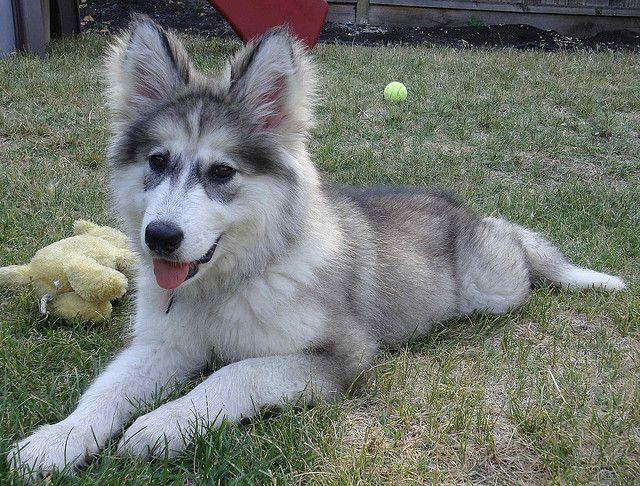 Takala, 6 months old - Native American Indian Dog