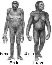 """ARDIPITHECUS RAMIDUS: Es una especie extinta de homínido, probablemente un hominino (primate bípedo) y quizá un ancestro del hombre. """"Ardi"""" significa suelo, """"pithecus"""" en griego significa mono y ramid es raíz, en la lengua (amhárico) del lugar (Etiopía) donde fueron encontrados los primeros restos."""