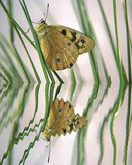Featured Art - Native Tasmanian Butterfliy.  by Sarah  King