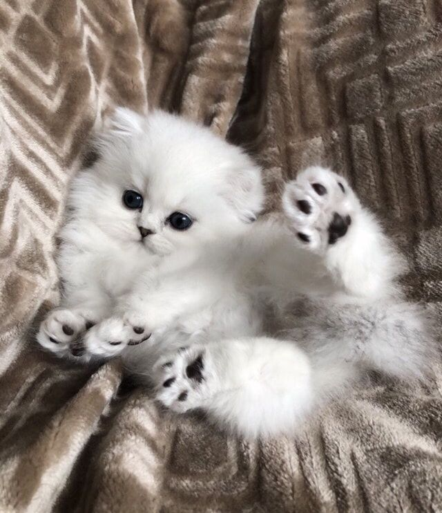 Chinchilla Silver Shaded Silver Golden Persian Kittens For Sale Christypaw Persians Persian Kittens Cat Furry Persian Kittens For Sale
