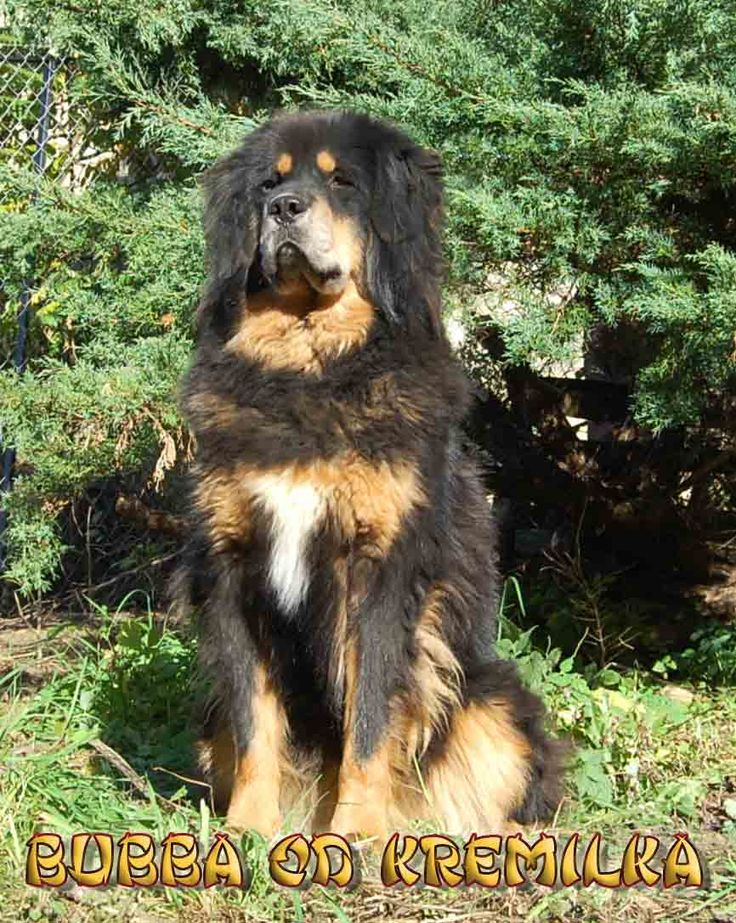 les 25 meilleures id es de la cat gorie chiots dogue du tibet sur pinterest chien dogue du. Black Bedroom Furniture Sets. Home Design Ideas