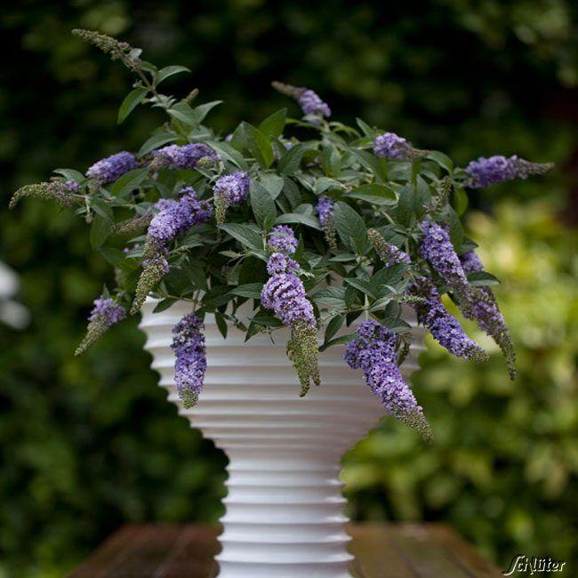 Zwerg-Sommerflieder 'Lilac Chip®' 2