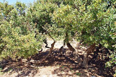 Norske reiseblogger: Mastika - et gresk naturprodukt fra Chios