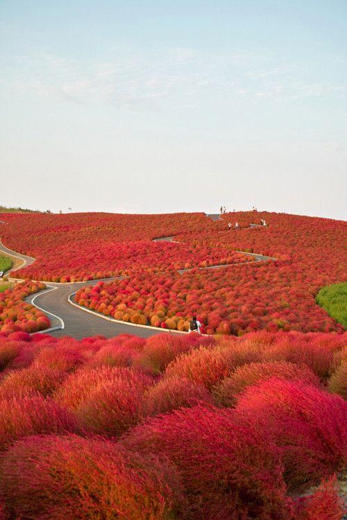 Kochia Hill, JapanRed, Japan, Colors, Beautiful, Seaside Parks, Hitachi Seaside, Truffula Trees, Travel, Places