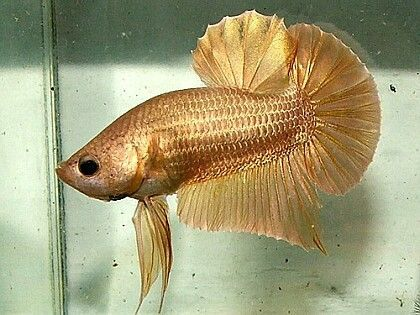 481 best pretty fish images on pinterest beautiful fish for Giant betta fish for sale