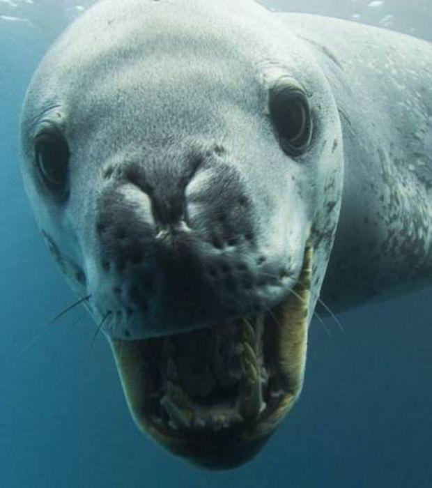 Photo : Une femelle léopard des mers, elles peuvent peser jusqu'à 590 kg