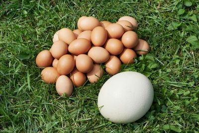 One #ostrich egg is equal to 24 chicken eggs.