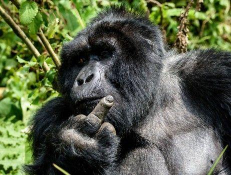 Ce gorille en colère du parc national de la forêt impénétrable de Bwindi, en Ouganda, montre par un geste sans équivoque ce qu'il pense du fait d'être dérangé pendant son repas. Ce dos argenté de 1,80 mètre et de 180 kilos n'avait manifestement aucune envie de participer à la séance photo du Britannique Ken Haley (63 ans). «Lorsque nous sommes passés devant lui, le gorille nous a non seulement fait un doigt d'honneur, mais a également lâché un pet.»