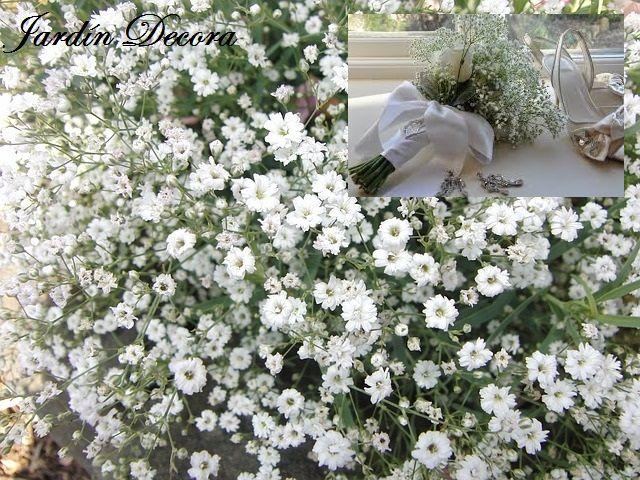 gypsophila, flores y plantas a pleno sol