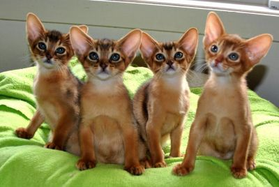 Abyssinian Cat Personality | ... kittens an example of a tawny abyssinian show and pet kittens