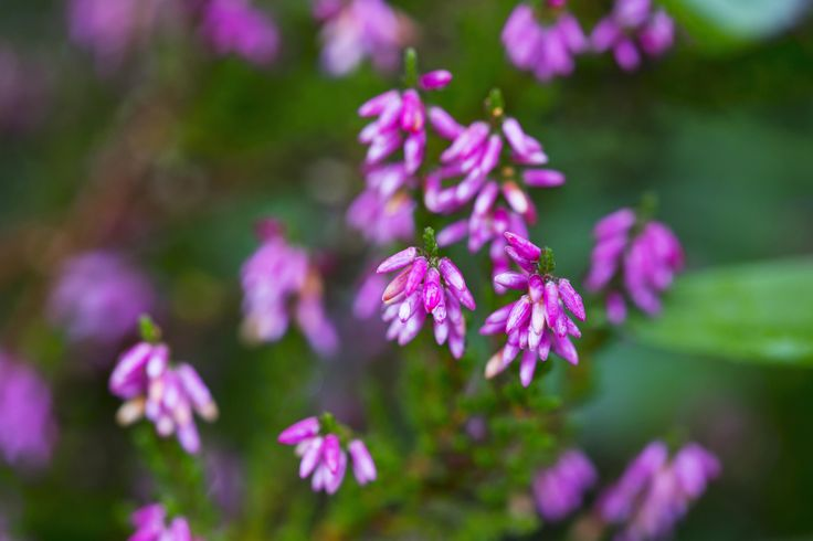 Vibrant pink heather in the front garden of our holiday cottage in the Forest of Dean
