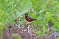 Escucha el Mosquitero Común en canto-pajaros.es, una completa recopilación de sonidos de pájaros de nuestro país. ¡También para tu teléfono móvil!