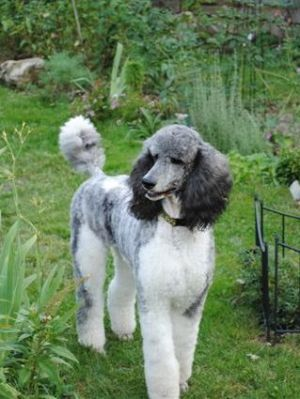 What a gorgeous poodle!