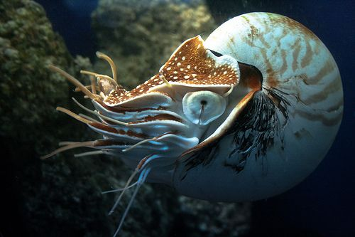 The Nautilus: A Living fossil of the Seas. Found in abundance in prehistoric times, the nautilus' numbers have dwindled and only a handful of species remain today.