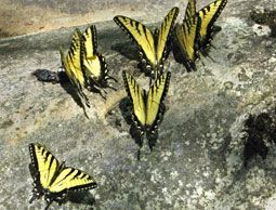 Butterfly Puddling ~ to attract butterflies to your garden