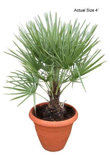 European Fan Palm Tree, Chamaerops humilis