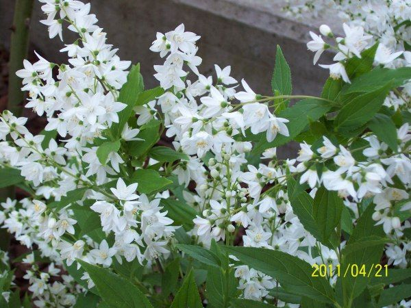 piccolo arbusto fiori bianchi | arbusto fiorellini bianchi | Le parole dei fiori