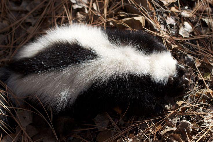 56 Best Skunks Skunk Polecat Polecats Images On