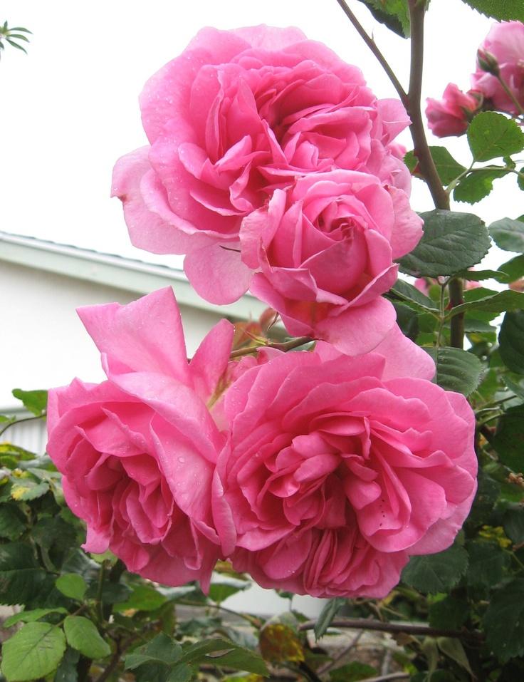 Austin English rose, 'Charmian' spray my garden 2012