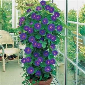 Container pot with Morning Glory plant - use colored tomato cage for