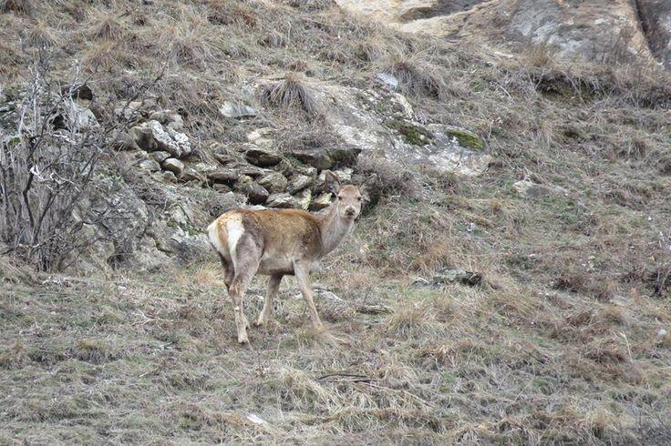 Femmina di cervo ad Oulx #myValsusa 10.03.17 #fotodelgiorno di Maria Rita Brun
