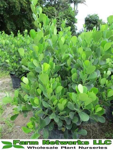 7 Gallon Clusia Guttifera | 7g Clusia Guttifera,clusia hedge miami,clusia small leaf,miami clusia