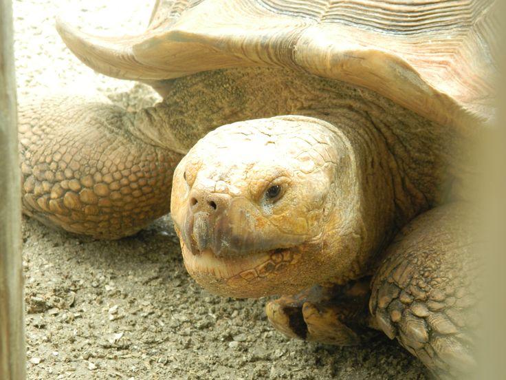 Galapagos Tortoise in Orlando