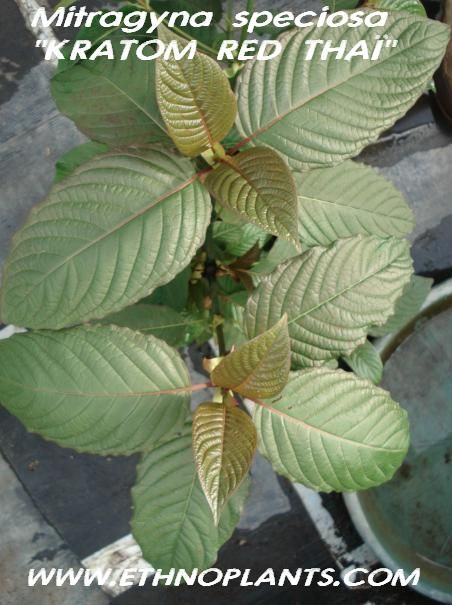 kratom seeds https://www.ethnoplants.com/gb/asian-plants-seeds/426-mitragyna-speciosa-kratom-seeds-pods.html