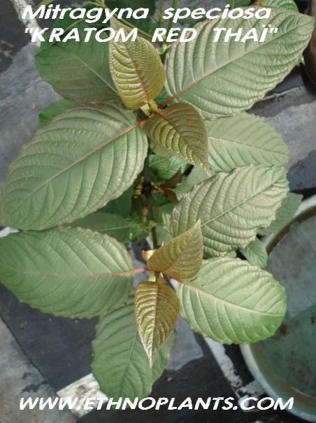 kratom seeds https://www.ethnoplants.com/gb/asian-plants-seeds/426-mitragyna-speciosa-kratom-seeds-pods.html