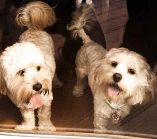 Best Poodle Mix Dogs