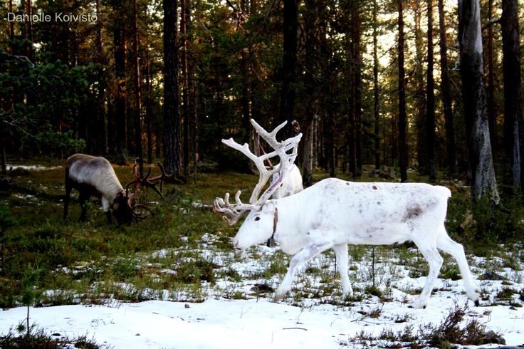 reinders..Finnish Lapland
