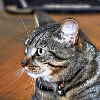 How to Take Better Pet Photos with Minnie the Tabby Cat